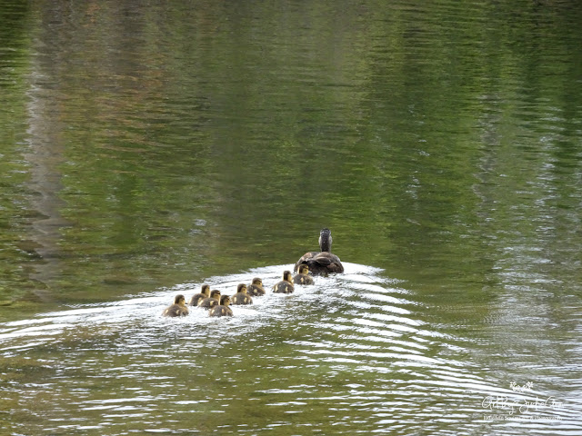 Cute Ducklings Photo