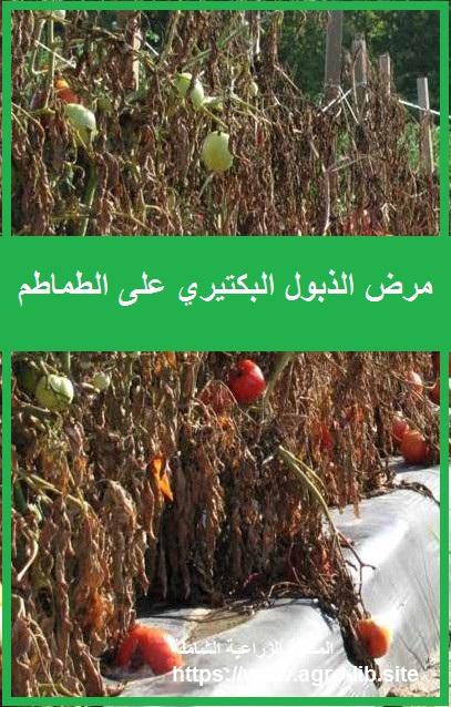 مرض الذبول البكتيري على الطماطم Bacterial Wilt