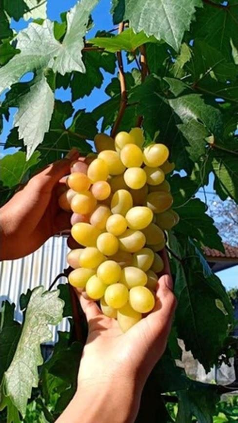 Bibit Anggur import transfigurasi Murah Sulawesi Selatan