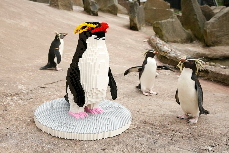 Amazing Penguins at Edinburgh Zoo gaze at their Lego models
