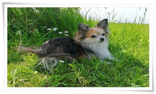 Training a Chihuahua