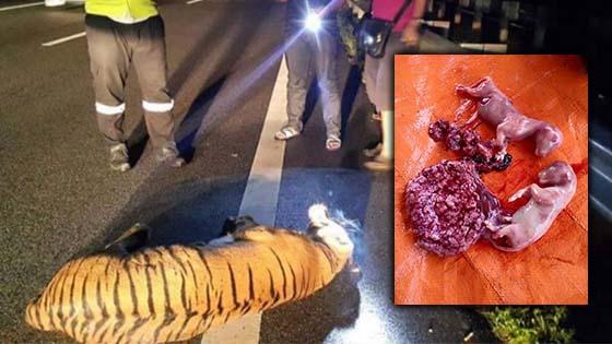 Harimau mati dilanggar di LPT2 hamil