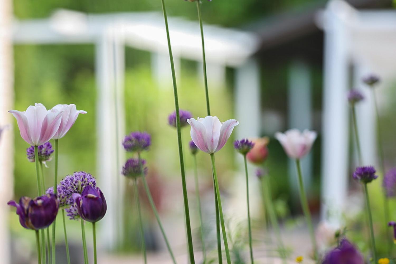 tulppaanit-puutarha-100outdoor