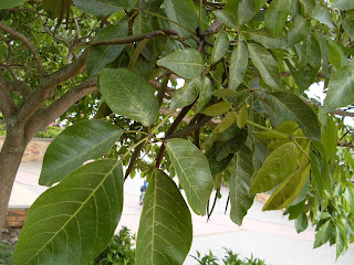 Guayacan armarillo - tabebuia chrysantha colombia andes tree arbol leaves bark  yellow
