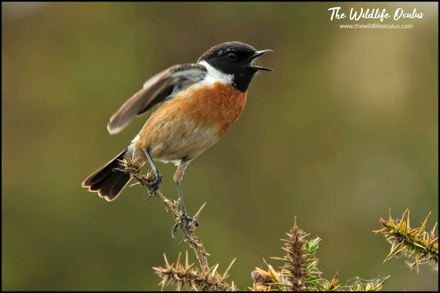 A male Stonechat singing from its Gorse perch