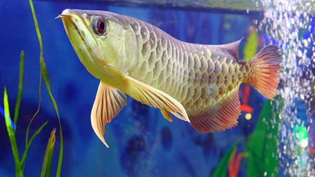 Order Supplier Jual Bibit Ikan Arwana Klaten Berpengalaman