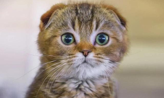 Harga-Kucing-Scottish-Fold