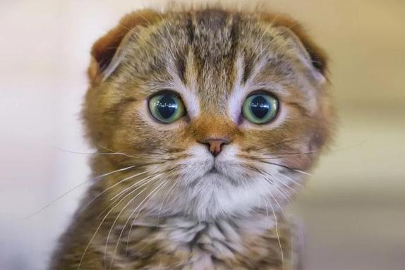 Harga Kucing Scottish Fold Terbaru