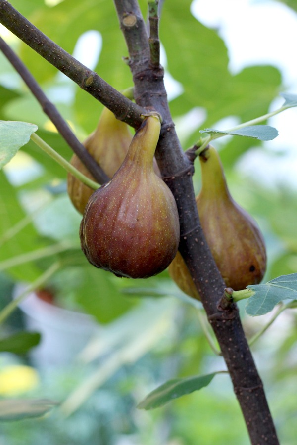 how to make fig preserves video