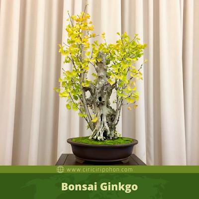 Bonsai Ginkgo