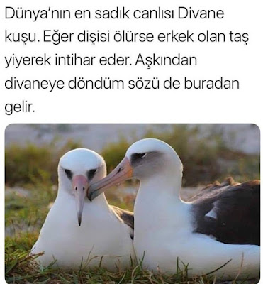 Dünya'nın en sadık canlısı Divane Kuşu. Eğer dişisi ölürse erkek olan taş yiyerek intihar eder. 'Aşkından divaneye döndüm' sözü de buradan gelir