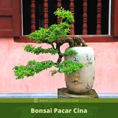 Bonsai Pacar Cina