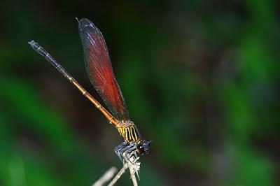 Euphaera ochracea