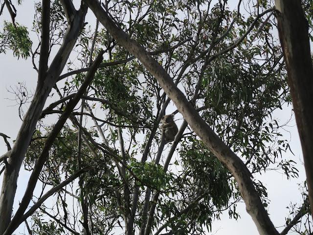 koala conversation centre,  philip island, melbourne, australia