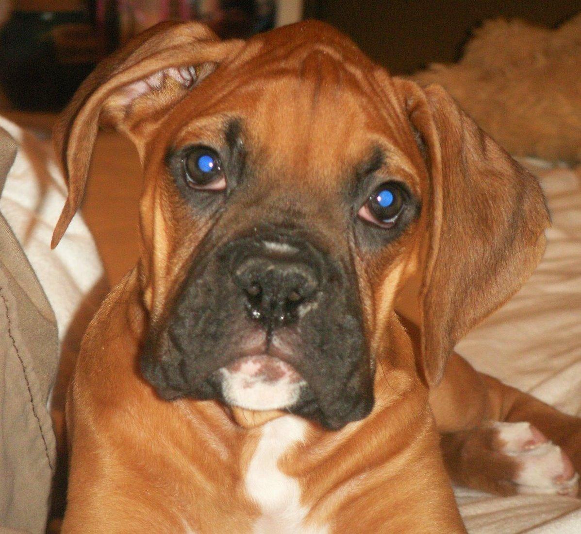 Blue Boxer Dog