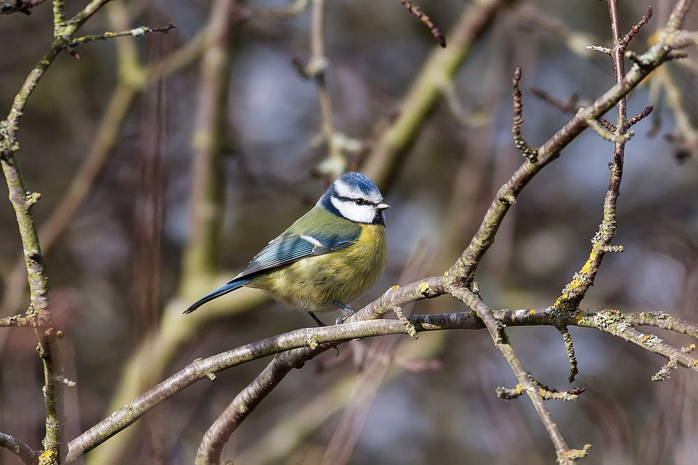 Blue Tit (and one of my sharpest ever images!!)