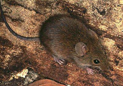 Ratón cavador parduzco Necromys lasiurus