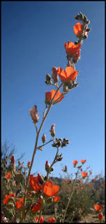 desert,Mojave,mallow,flower,wildflowers,CA,California