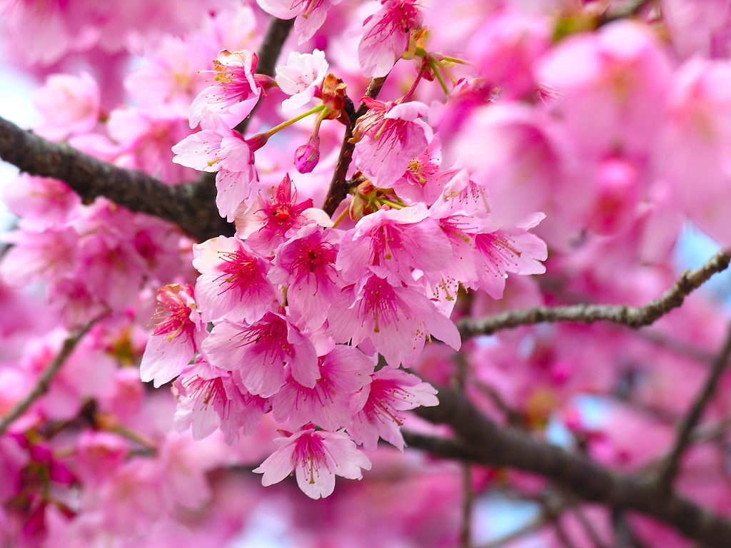cherry blossom wallpapers  Clickandseeworld is all about Funny Amazing pictures wallapers images