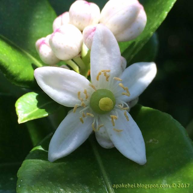 Bunga Limau Purut