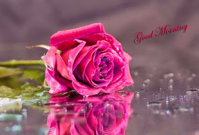 morning-pink-rose-images