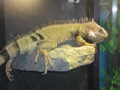 Hình ảnh chú Iguana 5 năm tuổi