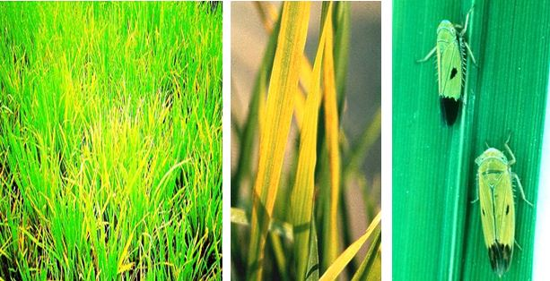 Macam-macam Hama dan Penyakit Pada Tumbuhan (Tanaman)Macam-macam Hama dan Penyakit Pada Tumbuhan (Tanaman)