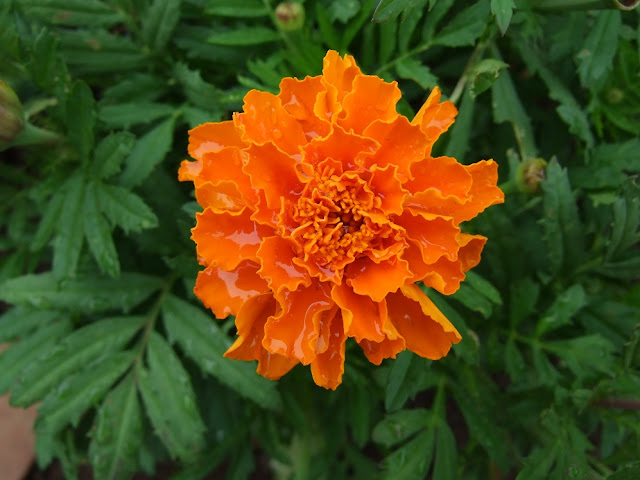 6月の雨に濡れた花…マリーゴールド