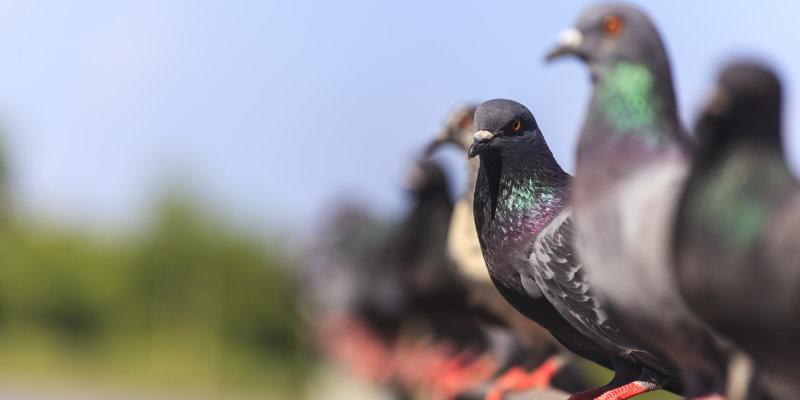 Controle contra propagação de Pombos