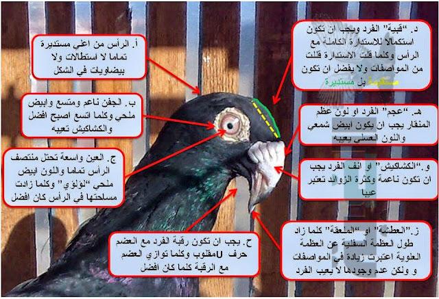 مواصفات الحمام المراسلة المصري