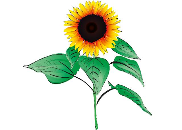 30 Gambar Bunga Matahari Cantik Server Gambar