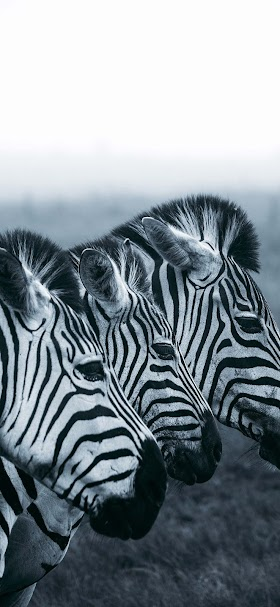 Wild zebras wallpaper