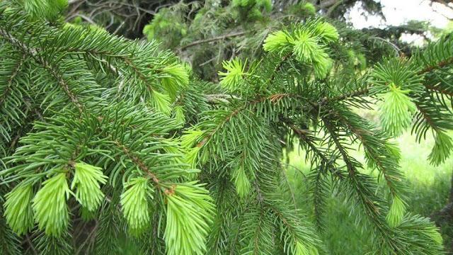 Manfaat Daun Pinus untuk Stroke