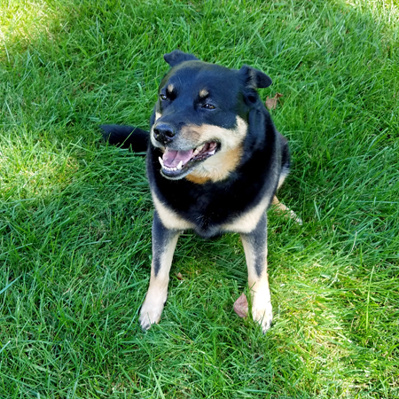 image of Zelda the Black and Tan Mutt sitting in the grass, grinning