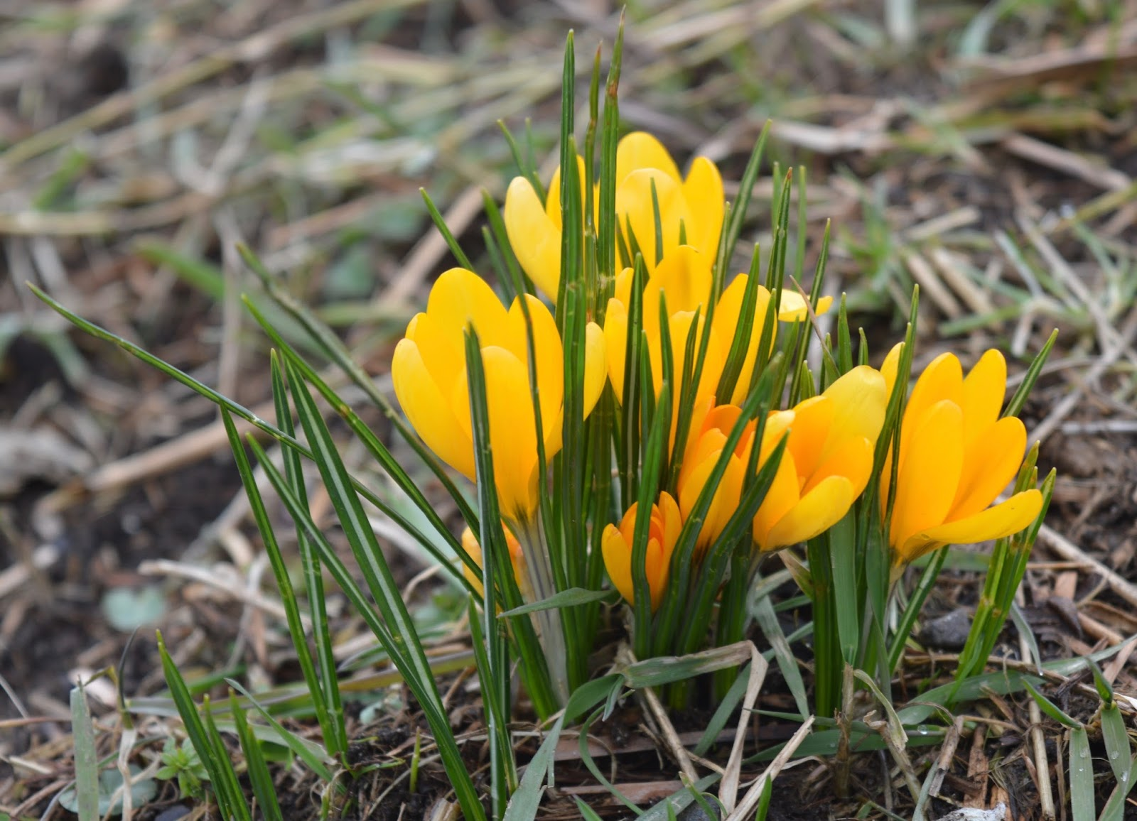 Crocuses at Warkworth Beach