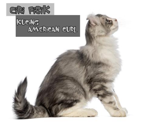 Ciri Kucing American Curl