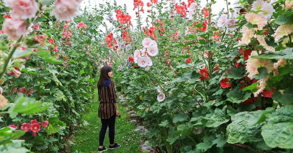 櫻花鳥森林「蜀葵鸚樂季」蜀葵花海隧道拍美照,觀賞鸚鵡放飛秀
