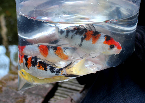 Transporting Koi – How to Do It Safely