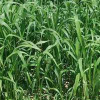 Rumput Sudan