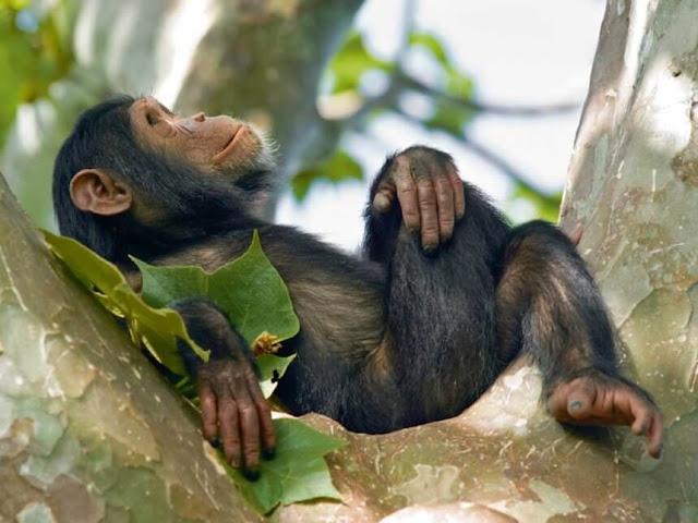 ١٠ حقائق و معلومات مهمة عن الشمبانزي