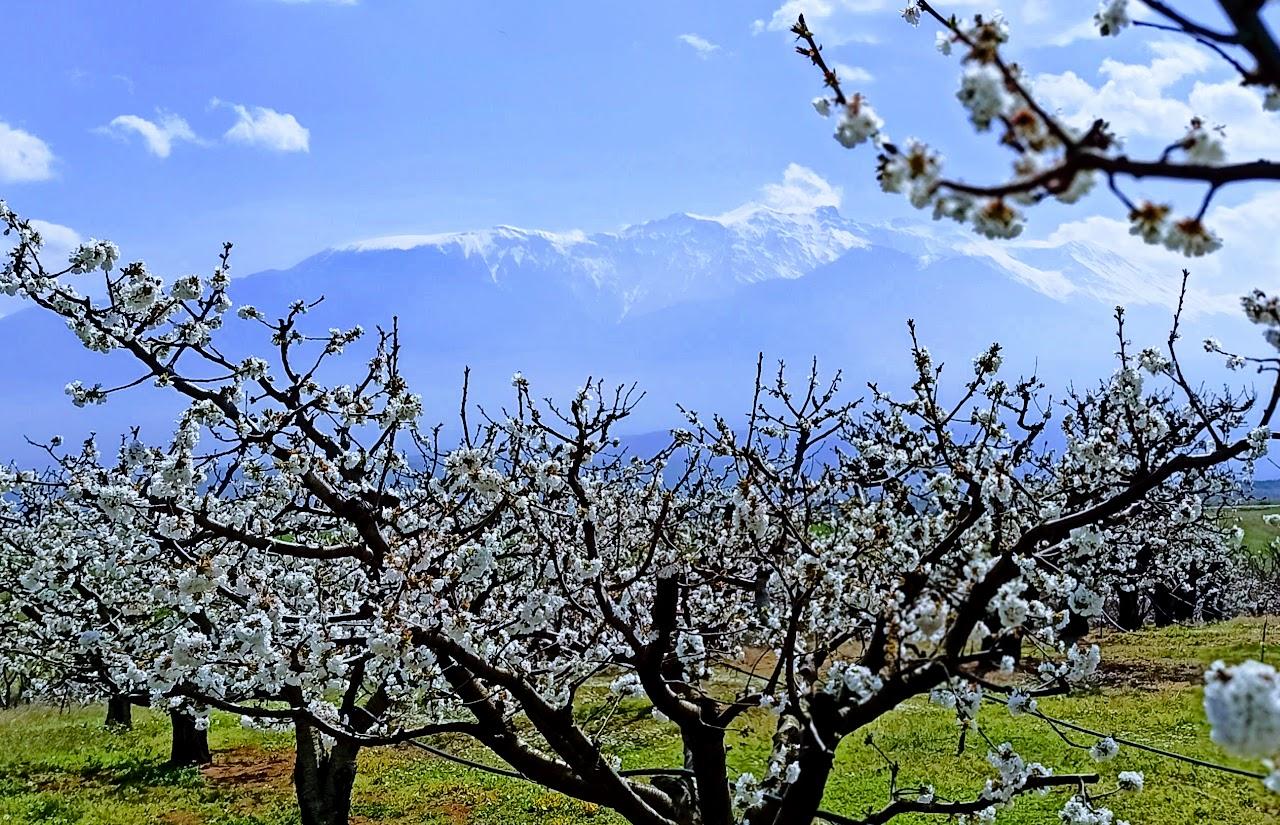 [Ελλάδα]Οι Κερασιές Ανθίζουν στην Πιερία ![εικόνες]