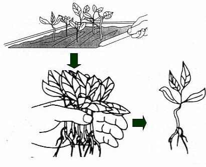 Gambar Teknik pindah tanam dari bibit yang ditanam pada bak kecambah