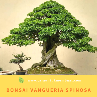 Bonsai Vangueria spinosa