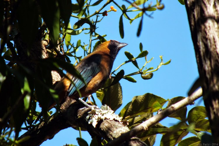 Birds Of Southeast Brazil