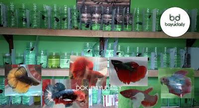 Toko Ikan Cupang Hias di Denpasar
