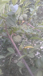 sitafal-tree-with-fruit