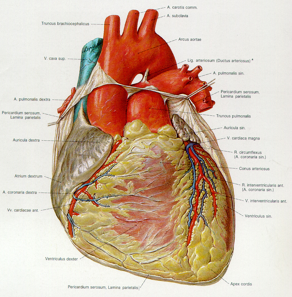 Health Care: Human Heart Anatomy Pics