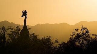Giraffes at night