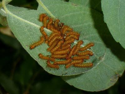 Automeris lemairei caterpillar