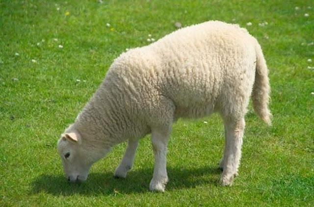 Απίστευτο: Έχει ξοδέψει 200.000 δολάρια για... ένα πρόβατο!!!